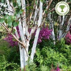 Betula Utilis Jacquemontii Doorenbos Multistem Tree - Image 1 of 4
