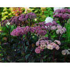 Sedum 'Maestro' - Succulents - Avant Gardens Nursery & Design
