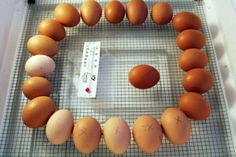 {Backyard Chickens} Incubating & Candling 101. Interested in incubating baby chickens from the beginning? Jillian has a recap of all the hijinx going on at her homestead. Hatch date is March 29th- peep peep!