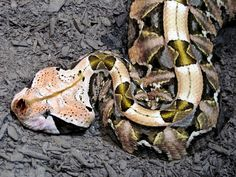 Bitis gabonica, most commonly known as the Gaboon viper, is a venomous viper species found in the rainforests and savannas of sub-Saharan Africa. Scary Snakes, Cool Snakes, Pretty Snakes, Beautiful Snakes, Gaboon Viper, Reptile House, Snake Art, Snake Venom, Reptiles And Amphibians
