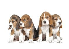 Cute Beagle Puppy Pictures....