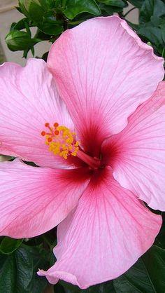 hibiscus_blossoms_herbs_pot_60059_640x1136 | by vadaka1986