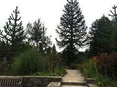 Monkey Puzzle Trees  Van Dusen Garden  Vancouver