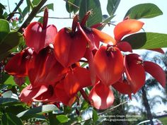 Erytrina crista-galli