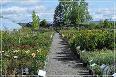 nursery path lined with native and perennial plants Shooting Star Nursery, Perennials, Paths, Sidewalk, Walkway, Perennial, Walkways