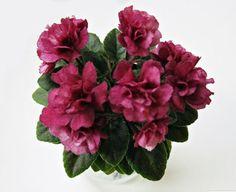 Jolly-Redneck-African-Violet-Plant-Mini