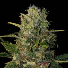 Santa Muerte Feminised Seeds by the cannabis breeder BlimBurn Seeds, is a Photoperiod Feminised marijuana strain.This Sativa strain produces a High Indoor: 500 - 600 g/plant yield. These seeds germinate in 10-11 weeks in mid October.This Feminised seed grows well in Greenhouse, Indoors, Outdoors conditions. Additionally it can be expected to grow into a Tall plant reaching 2-3m.This strain has Mexicana x Original Haze Genetics. It has a High (15-20%) THC Content. The CBD content of the…