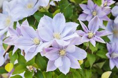 Potted Clematis : Move your clematis indoors prior to the first frost of the season. An indoor garage or cellar is a good place to overwinter your clematis vines. Pull out, and dispose of, the annuals when you bring the vine indoors for the winter. Clematis Care, Clematis Plants, All Plants, House Plants, Overwintering, Ground Cover Plants, Growing Roses, Orchid Care, All Flowers