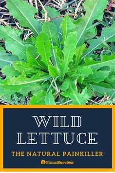 The fast acting Natural Painkiller. Wild Lettuce is a plant which can grow 6 feet tall. It has yellow flowers and spiny leaves. Medicinal Weeds, Edible Wild Plants, Herbs For Health, Wild Edibles, Healing Herbs, Natural Healing, Natural Medicine, Cannabis, Just In Case