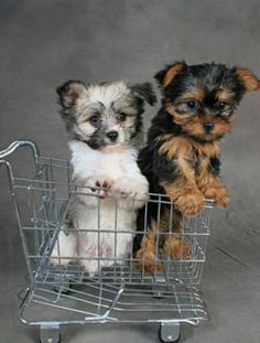 Papitese puppies