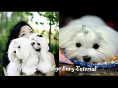 GROOMING: Maltese Tear Stains ~Eye Envy Review ~How to use Eye Envy VS our Normal Cleaning Routine - YouTube