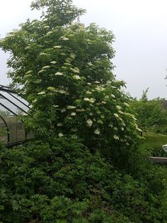 Hollerbusch in Blüte