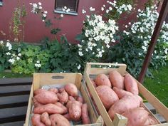 Így lesz tele a kerted édesburgonyával, röhejesen olcsó megoldás Health 2020, Ted, Potatoes, Apple, Fruit, Vegetables, Gardens, Chicken Coop Garden, Apple Fruit