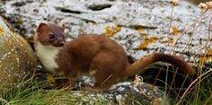 Irish stoat, photographer Carrie Crowley