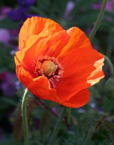 63 best flowers poppies images on pinterest in 2018 beautiful papaver orange chiffon watercolour flowers chiffon flowers red poppies flowers garden garden mightylinksfo