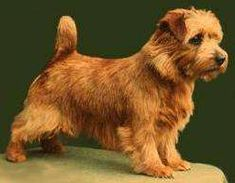 Norfolk terrier.. Desperately trying to figure out how to get one in my life