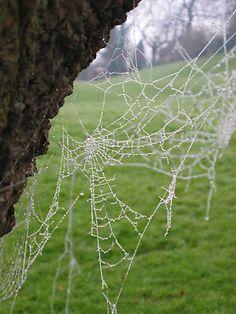 Dew soaked spider webs