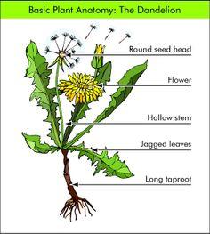 Dandelion Plant Anatomy