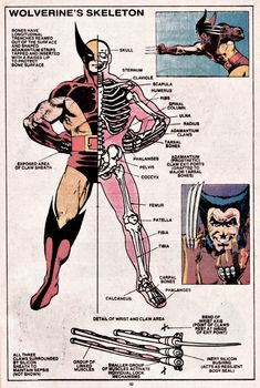 Wolverine's Skeleton … Official Handbook of the Marvel Universe 15 Book Of Weapons and Hardware 1983 , OHOTMU Marvel Wolverine, Wolverine Claws, Hq Marvel, Marvel Comics Art, Bd Comics, Marvel Heroes, Wolverine Tattoo, Logan Wolverine, Graphic Novels