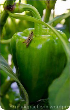 Ungarisches Gulasch, Rosen, Paprika und eine Heuschrecke