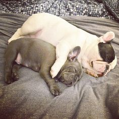 And then please be quiet. They're trying to nap here! | Manny And Frank Are The Cutest Frenchie Brothers Of Instagram