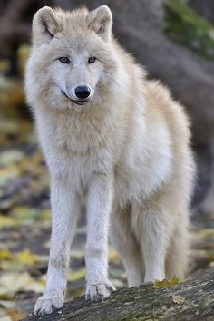 Arctic Wolf.   ••••(KO) Beautiful creature. Wolves are survivors and are loyal to their packs. Strong and wise.