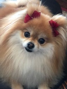 Marvelous Pomeranian Does Your Dog Measure Up and Does It Matter Characteristics. All About Pomeranian Does Your Dog Measure Up and Does It Matter Characteristics. Cute Puppies, Cute Dogs, Dogs And Puppies, Dogs Pitbull, Cute Baby Animals, Animals And Pets, Baby Pug Dog, Pomeranian Puppy, Chihuahua