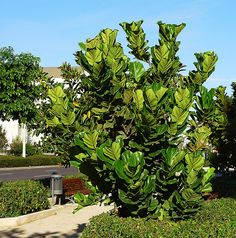 NaturaLista · Árbol lira (Ficus lyrata)