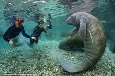 """""""This manatee appears to strike a pose as one snorkeller attempts to capture the perfect picture"""""""