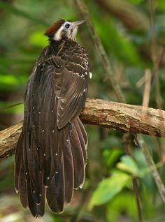 Pheasant Cuckoo (Dromococcyx phasianellus) Vidiro