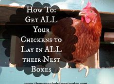 Raising Backyard Chickens, Keeping Chickens, Backyard Farming, Backyard Barn, Chickens And Roosters, Pet Chickens, Nesting Boxes, Hobby Farms, Chicken Eggs