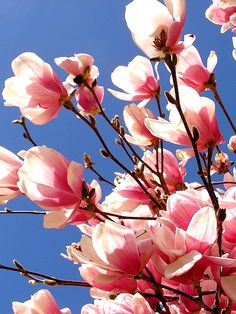 Magnolia - pink tulip magnolias . . . tried to grow, but they died, so i love to enjoy others who have them in their yards!