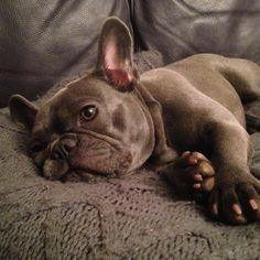 Blue frenchie Mini French Bulldogs, French Bulldog Blue, Pet Dogs, Dog Cat, Pets, Doggies, I Love Dogs, Puppy Love, Teach Dog Tricks
