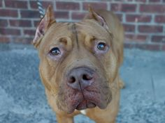 TO BE DESTROYED 11/15/13 Brooklyn Center-P FLO #A0983976 Female brown & white pit bull mix. 5 YRS STRAY on 11/03/13 While her past is unknown, it is apparent that she is something special. She walks calmly on leash, seems house trained, sits on command, and will shake your hand! She is affectionate & loves to be pet! Flo is very well behaved, but has a playful side too. Sweet Flo is ready to meet the lucky person she will spend her future with - she is waiting for you