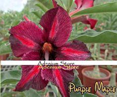 New Adenium 'Purple Maple' 5 Seeds