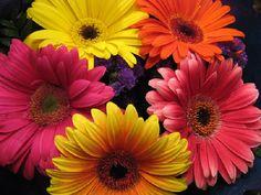 Podemos encontrar este tipo de flor em diversas cores. É também uma das mais populares nas floriculturas, juntamente com rosas e cravos. Além disso, é uma das flores que se conservam viçosas em vasos e arranjos por mais tempo.  Significado: As gérberas transmitem alegria, porque pertencem à família da margarida. Esta flor também simboliza a pureza, a inocência e o amor leal.