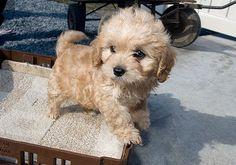Cavachon puppy. What's a cavachon? He's so cute!!