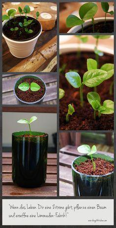 Wie man aus einen Zitronenbaum aus einem Kern zieht // How to grow a lemon tree out of a seed