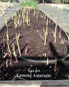Growing Asparagus - Bonnie Plants | Plants, Growing ... Planting Asparagus In The Fall