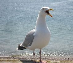 The Seagull. One of my favourite sounds.