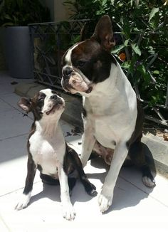 Two Boston Terriers Enjoying the Sun Light from the Island of Malta! ► http://www.bterrier.com/?p=29123 - https://www.facebook.com/bterrierdogs
