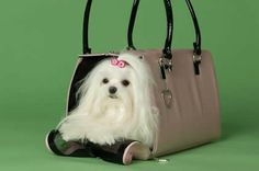 The only way to travel. Teacup Maltese, Maltese Puppies, Puppy Carrier, Shoulder Bag, Cute, Bags, Travel, Beautiful, Handbags