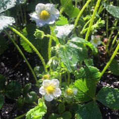 The strawberries are coming along nicely! #gardening #homegrown #strawberries #westcoastliving