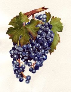 Blue Grapes Watercolor