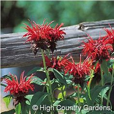 Monarda Jacob Kline - tall x wide (cutting propagated). With its spectacularly large, deep-red flowers, vigorous growth habit and mildew-resistant foli. Zone 5 Plants, Red Flowers, Beautiful Flowers, High Country Gardens, Compost Soil, Companion Gardening, Garden Yard Ideas, Garden Landscaping, Hummingbird Flowers