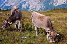 Swiss Army (Kind of) Invades France to Help Thirsty Cows - http://modernfarmer.com/2015/07/swiss-army-takes-french-water-for-cows/?utm_source=PN&utm_medium=Pinterest&utm_campaign=SNAP%2Bfrom%2BModern+Farmer