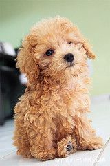 Irma I think, would be a person to have a poodle named Fluffy. I think it would look something like this. Small, with a goldish color to it.