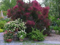 Purple Smoke tree - Cotinus coggygria royal purple - There several shades of… Garden Shrubs, Flowering Shrubs, Garden Trees, Trees And Shrubs, Trees To Plant, Garden Plants, Purple Smoke Bush, Red Smoke, Smoke Tree
