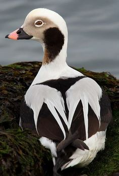 Samuel Maglione | Long-tailed Duck