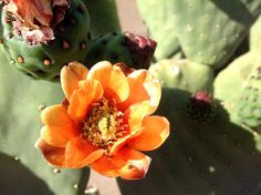 Unknown paddle cactus in bloom